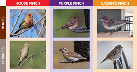 purple finch vs house finch cassins finch vs house finch
