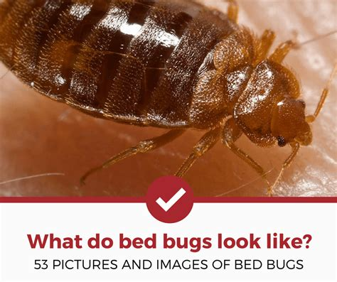 how do bed bugs look what do bed bugs look like 53 pictures of bed bugs