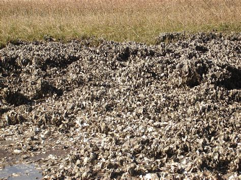 the oyster bed eastern oyster wikipedia
