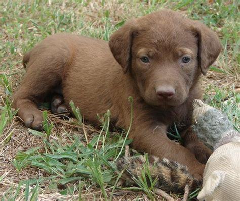 chesapeake retriever puppy chesapeake bay retriever photograph chesapeake bay retriever puppy p