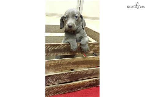 weimaraner puppies for sale in va weimaraner for sale for 550 near lynchburg virginia 57734e14 06e1