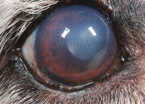 cloudy in puppies senile endothelial degeneration corneal oedema pet health information