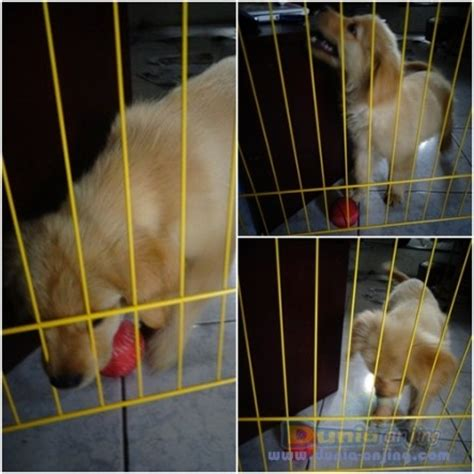 Jual Kandang Pagar Bandung dunia anjing jual anjing golden retriever jual murah