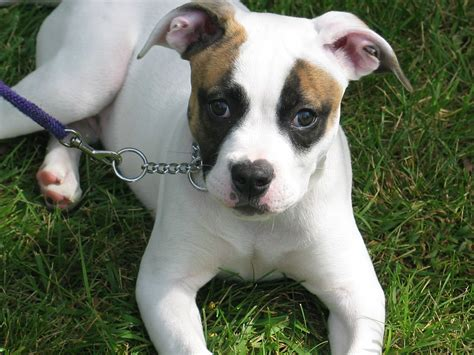 pictures of bulldog puppies white american bulldog puppy photo and wallpaper beautiful white american bulldog