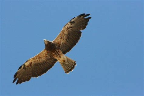 long gone swainson s hawk returns to bay area the