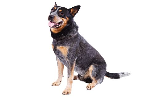 cattle puppy types cattle dogs images