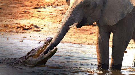 Crocodile Attacks Elephant at Watering Hole - YouTube