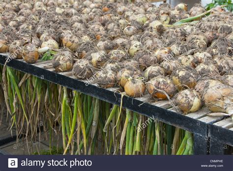 onion allium cepa harvested bulbs drying  rack
