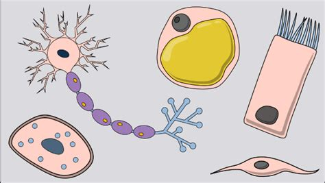what is cell differentiation ppt video online download