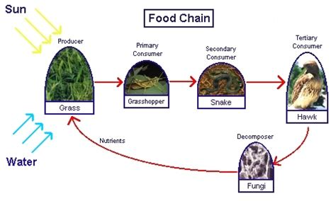 forest food chain diagram antagonist placeholder