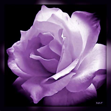 purple rose quotes quotesgram