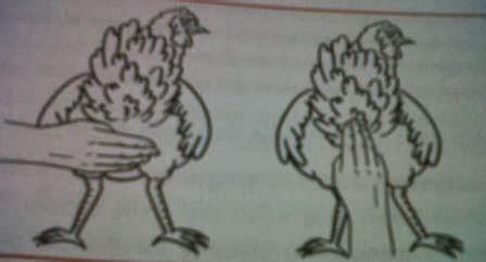 Bibit Ayam Petelur Di Garut tips memilih bibit ayam kung petelur 1 ayam kung pro