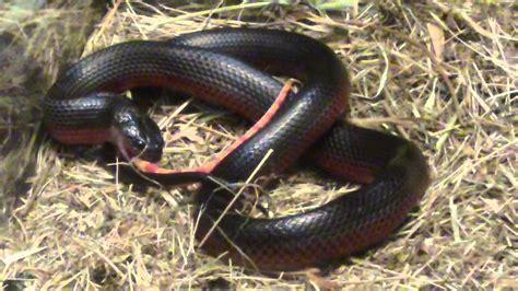 imagenes arañas negras alimentaci 243 n de musurana negra boiruna maculata youtube