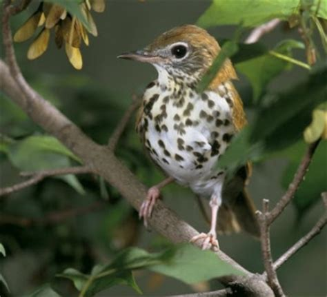 photo share wood thrush
