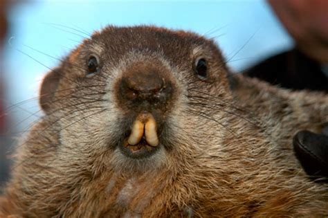 groundhog day tradition groundhog day a tradition with ancient roots mamiverse