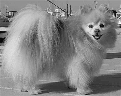 what are pomeranians known for the 116 best images about animals from history on statue of cats and