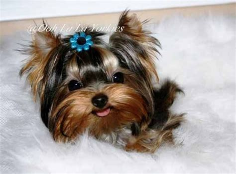 all things yorkie 17 best images about all things yorkie on micro teacup puppies