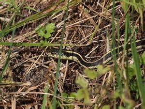 garden snake garter snake in caledon inside caledon