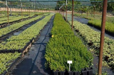 mirto pianta in vaso pianta di mirto aromatiche coltivare il mirto
