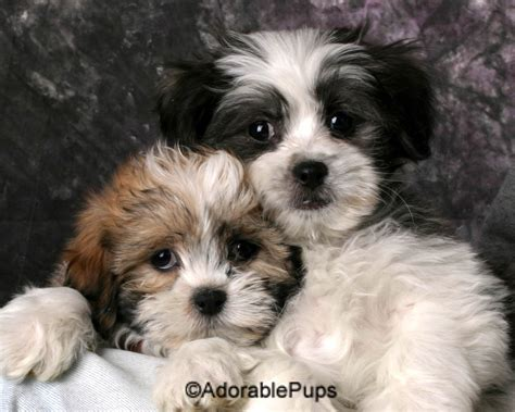 available puppies available puppies for sale in nh