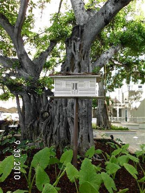 veranda tree banyan tree at moana surfrider veranda picture of the