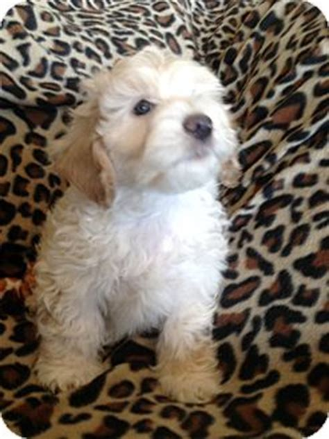 yorkie puppies salt lake city braydon adopted puppy salt lake city ut havanese poodle miniature mix