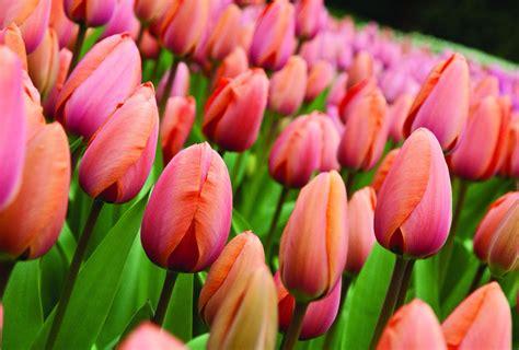 immagini fiori di primavera balcone i primi fiori per salutare la primavera tgcom24