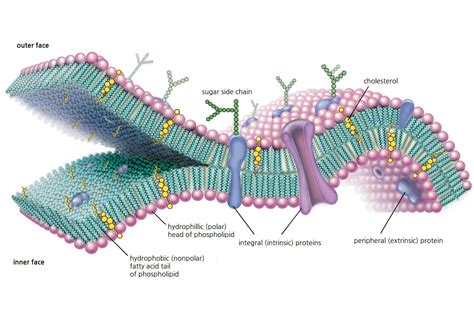cell membrane function  structure