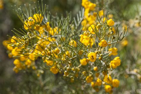 yellow flowering shrubs yellow flowering desert shrub flickr photo