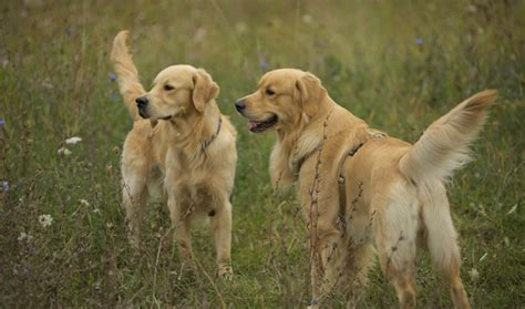 average weight of golden retrievers 7 months golden retriever weight loss directortoday