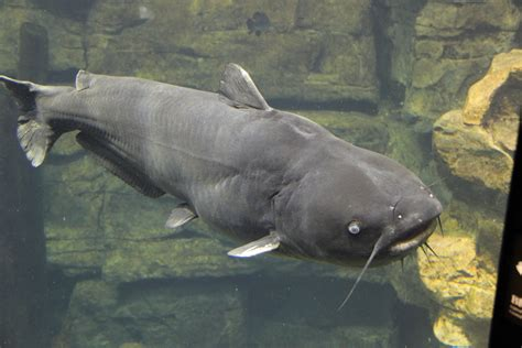 Catfish Search File Blue Catfish Tenn Aquarium Jpg