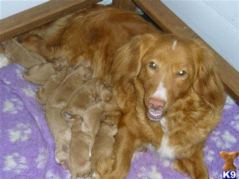 scotia duck tolling retriever puppies for sale price scotia duck tolling retriever puppies 21309