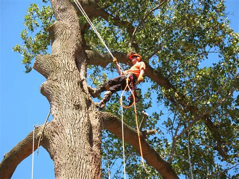 tree au tree removal and lopping penrith sydney tree services