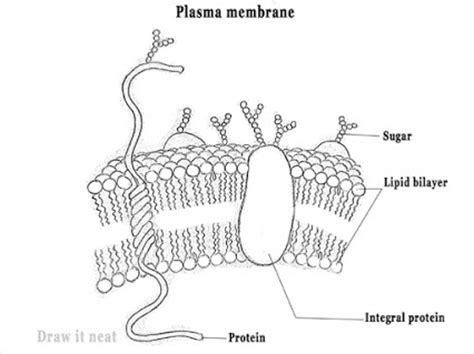 sketch and label a section of the cell membrane kiran kumar google