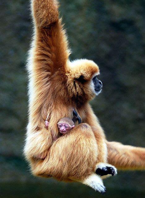 gibbon monkey mom baby pet monkey animals beautiful cute animals
