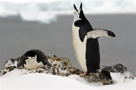 Chinstrap penguin | TravelWild Expeditions