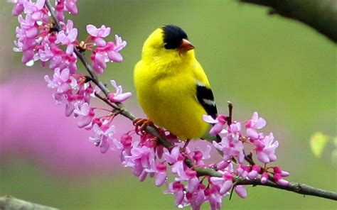 bird wall paper yellow bird wallpapers