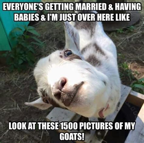 Funny Goat Memes - 17 best images about goats on pinterest baby goats