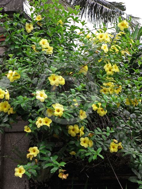 allamanda cathartica hendersonii golden trumpet yellow