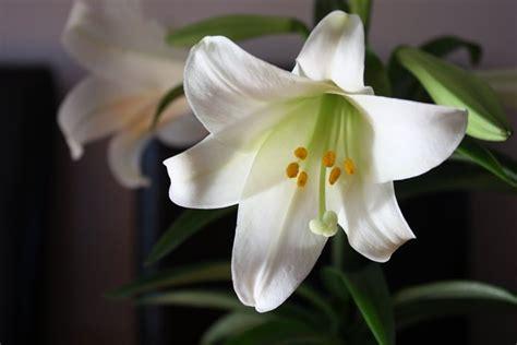 fiore il giglio significato giglio significato fiori giglio linguaggio