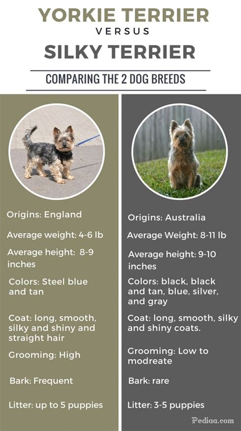 difference between yorkie and silky terrier difference between yorkie and silky terrier