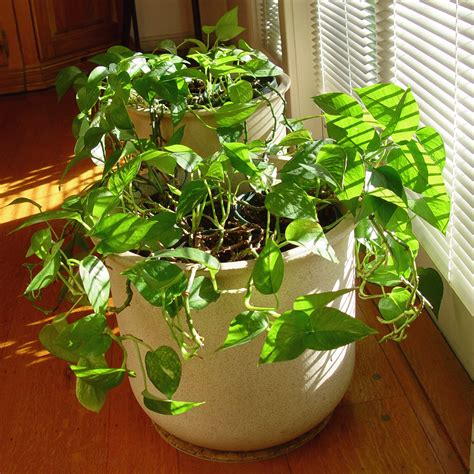 pictures of house plants vines by the bay houseplant for brown thumbs