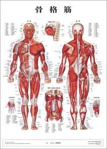 楽天市場 人体解剖図 人体図 骨格筋 人体百科