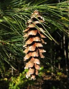 White Pine Cone by Bay Avenue Native Habitat Restoration Pinus Strobus