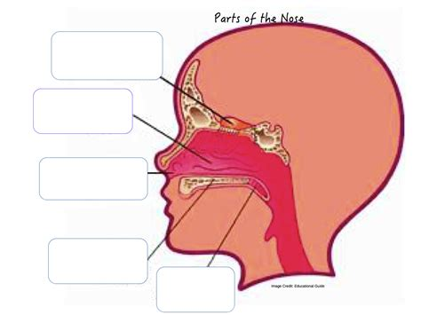 labelled diagram of the nose all about my nose reviewer for grade 3