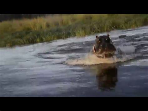 hippo chasing fishing boat crocodile attack doovi