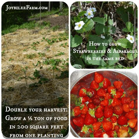 how to plant strawberries in a raised bed how to grow strawberries and asparagus the permaculture way