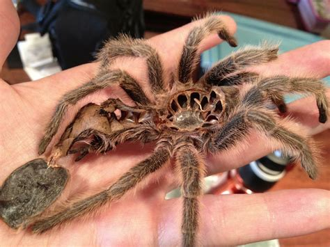Can Spiders Shed Their Skin by How A Tarantula Sheds Skin Earth In Transition