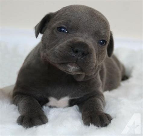 pitbull puppies for sale in chicago blue nose pit bull puppies for sale in chicago illinois classified americanlisted