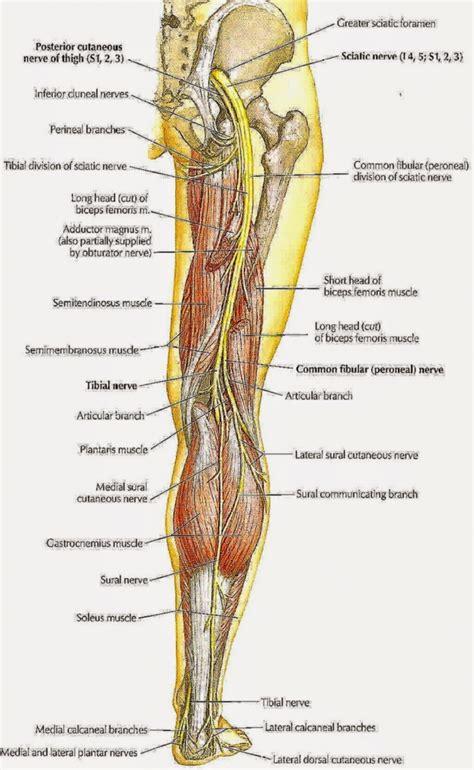 sciatic nerve diagram tibia fibula anatomy human anatomy diagram